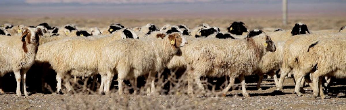 """Баянтүмэн сумын 2-р багийн иргэн, аймгийн аварга малчин, """"Алтан унага""""-ны эзэн Ж.Сумьяагийн гэр бүл, үр хүүхдүүдээс аймгийн Онцгой комисст 30 хонь хандивлаж, хүмүүнлэгийн тусламж үзүүллээ"""